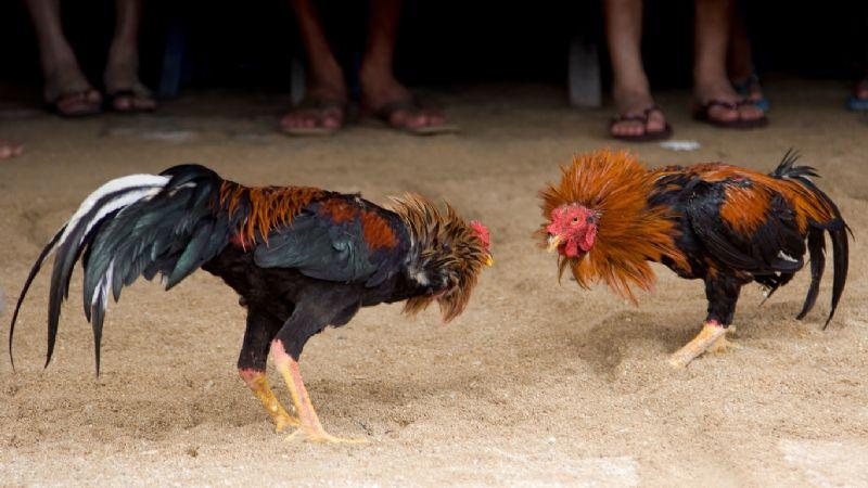 ¡Insólito! Un hombre en la india murió acuchillado en la pierna por ¿un gallo?