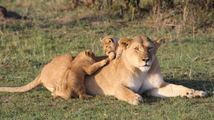 ¡Insólito! Trío de leones realizan una impactante predicción sobre el 'Super Bowl 2021'