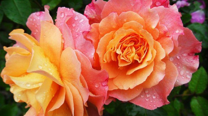 ¡Rosas y amapolas! Conoce algunas canciones de amor o tristeza inspiradas en flores