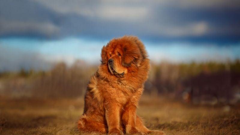 Conoce la mascota de la realeza que puedes tener en casa, el Mastín Tibetano