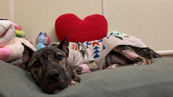 Conoce la impactante historia del perro que reformaría las leyes de su estado