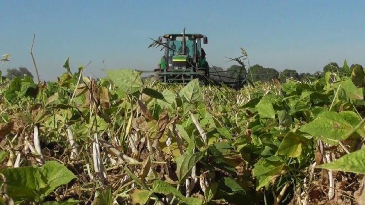 Productores de frijol del sur de Sonora se enfrentan al 'coyotaje' de precios