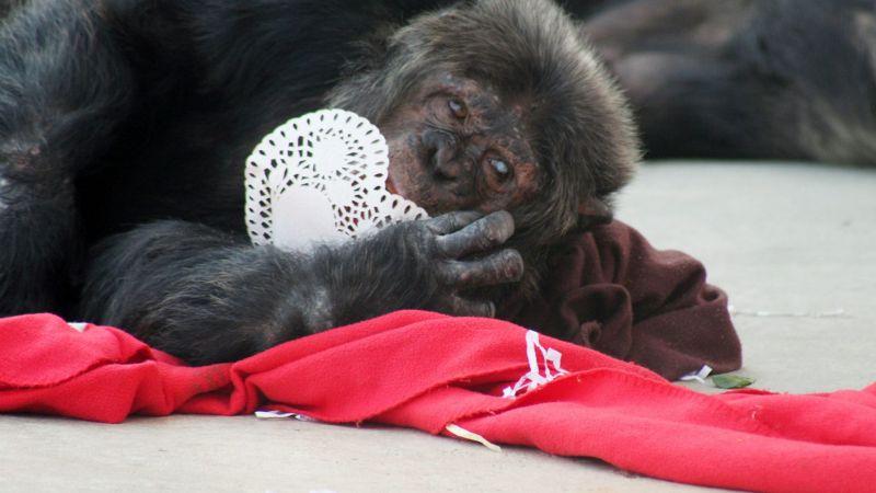 ¡Fantástico! Estos chimpancés romperán el corazón de tu expareja en San Valentín