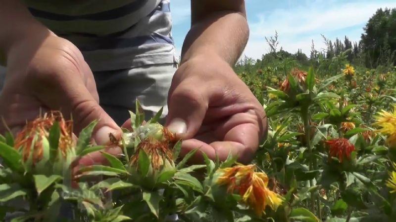 Oleaginosas, cultivos de baja demanda de agua vitales para el Valle del Yaqui