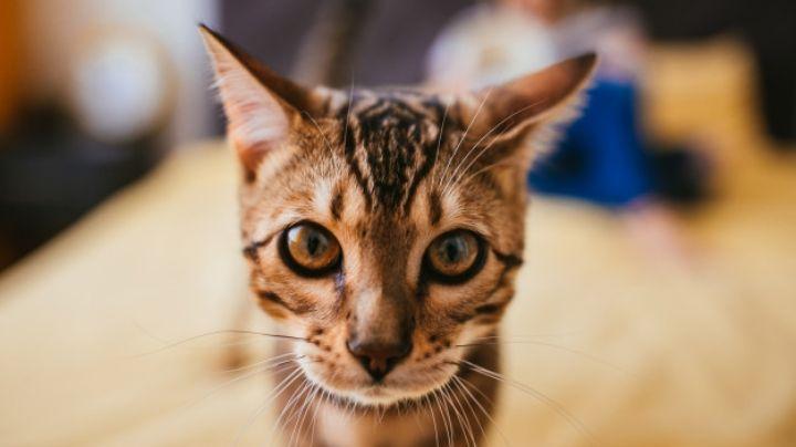 Cuida de tu gato al conocer cómo debes darle pescado para la hora de la comida
