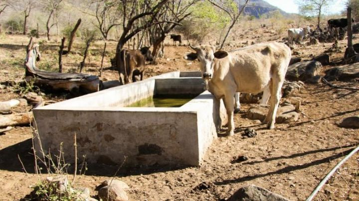 Hato ganadero de la región de Empalme y Guaymas 'enflaca'  por sequía, no llegan apoyos