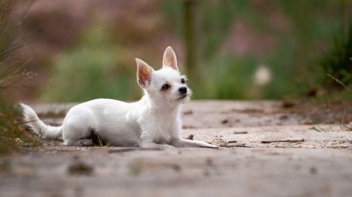 Logra controlar su personalidad con esta guía para educar a tu perro chihuahua