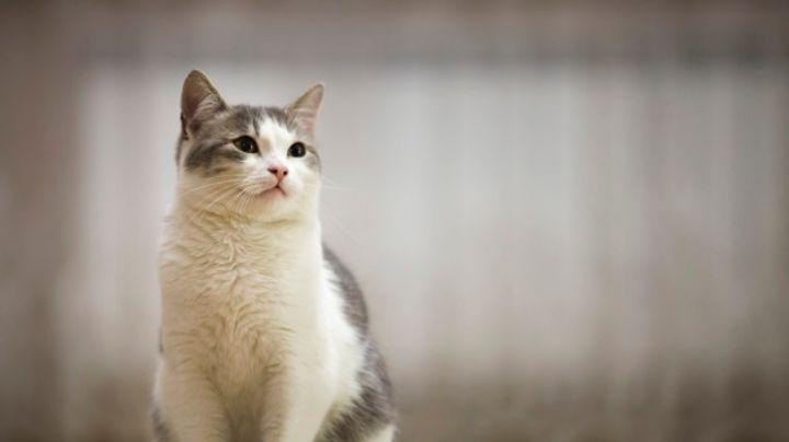 ¿Tu gato vomita? Identifica cuál puede ser la posible causa de este malestar