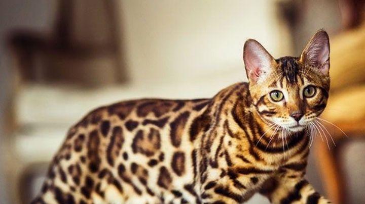 Enamórate de las curiosidades y características del asombroso gato bengalí