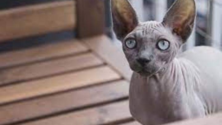 ¿Tienen pelo? Descubre algunas características de los asombrosos gatos egipcios