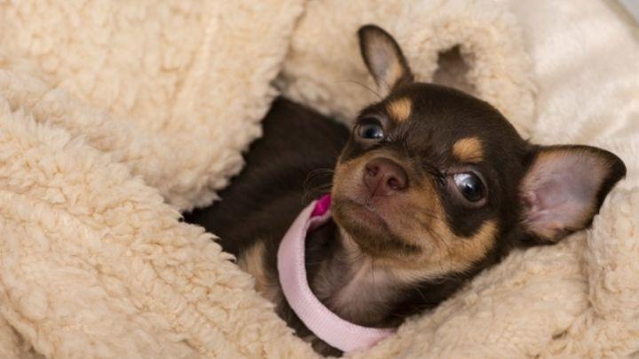 Dale rienda suelta a tu imaginación con estos nombres para perros chihuahua