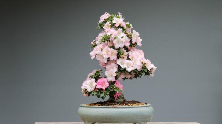 Azaleas: Averigua por qué estas flores son sumamente venenosas para el ser humano