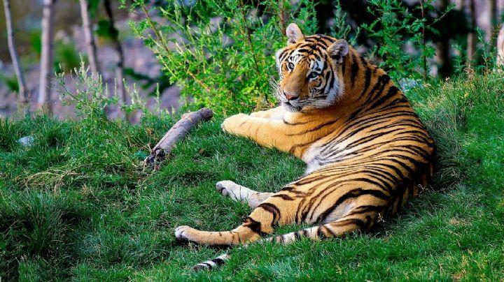 Aparece tigre en santuario de vida salvaje en la India; hace 81 años no se veía uno