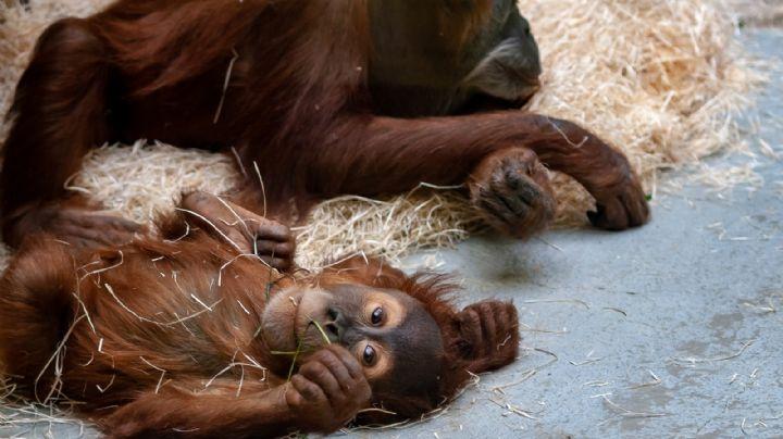 Zoológico de San Diego vacuna a sus simios contra el Covid-19 tras detectar 8 contagios