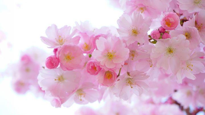 Fortuna, fortaleza y belleza: Conoce a las flores más famosas de China y sus significados