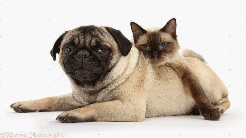 ¿El pug puede convivir de forma pacífica con el gato? La respuesta te dejará helado