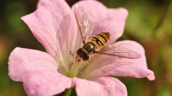 Aleja las plagas de tu hogar con la ayuda de algunas hermosas flores