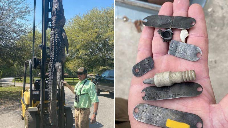 ¡De no creerse! Cazan un cocodrilo gigante y encuentran medallas de perros en su estómago