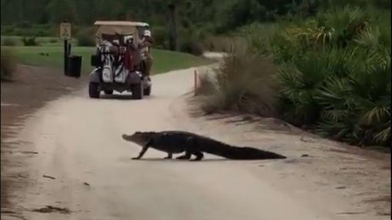 VIDEO: ¡Impresionante! Madre capta un enorme caimán mientras grababa a su hijo jugar golf