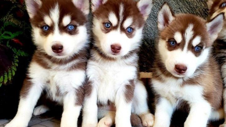 Haz que tu Husky Siberiano se sienta muy especial con estos nombres para perros
