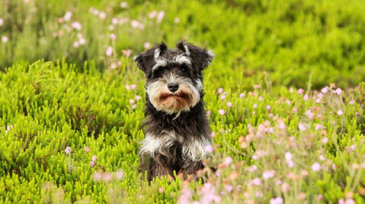 ¿Adoptaste a un schnauzer? Elige un nombre digno para el perro que será tu compañero