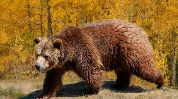 Tras días de agonía, muere guía de Yellowstone que fue atacado por un oso grizzly