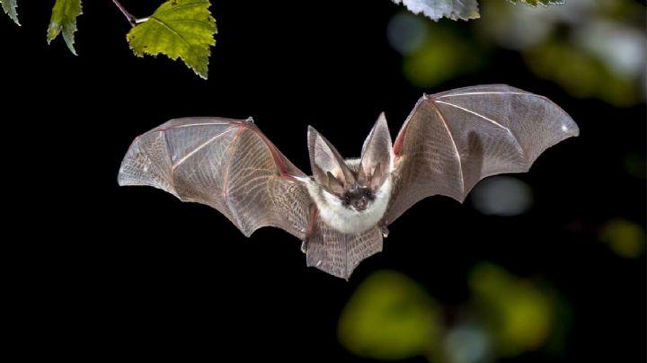 ¿Habrá otra pandemia? Descubren un nuevo tipo de coronavirus en murciélagos