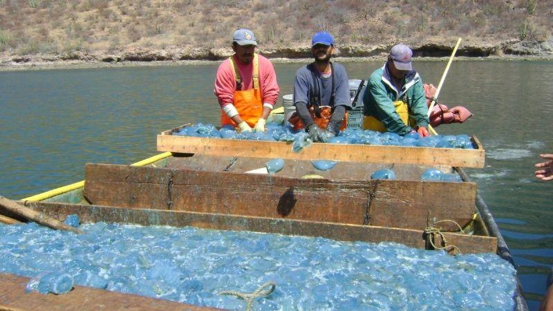 Guaymas: Temporada de aguamala arranca con poco producto pero de buen tamaño