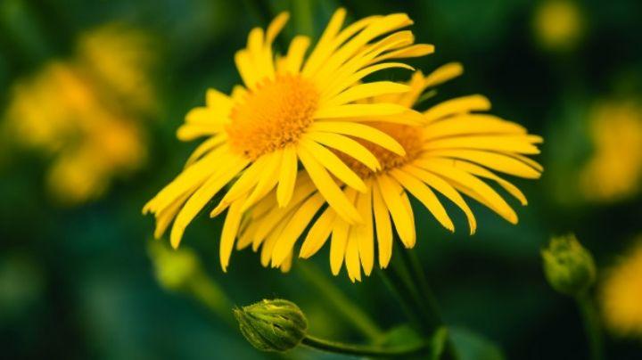 Sorpréndete con los increíbles usos medicinales de las flores de árnica