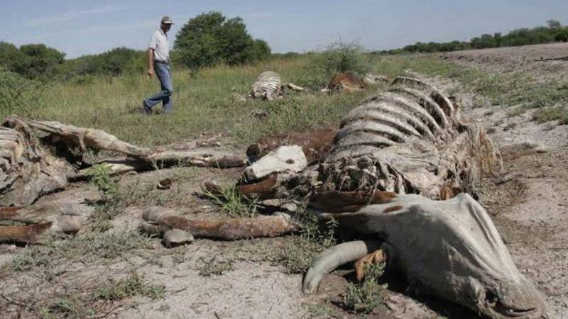 Ganadería en Sonora, en alerta: Mueren 300 mil cabezas de bovinos ante sequía y otros factores