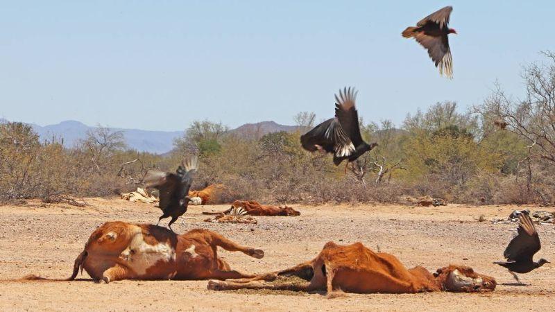 Ganadería en Sonora 'agoniza', mueren 300 mil cabezas de bovinos