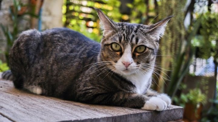 Rasguños de gato podrían estar relacionados con una terrible enfermedad