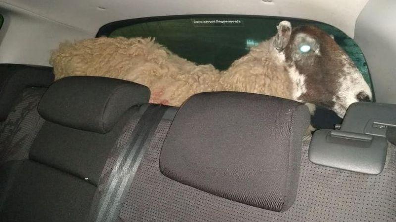 ¡Increíble! Los paran por pasarse un semáforo y les hallan un borrego en el asiento trasero