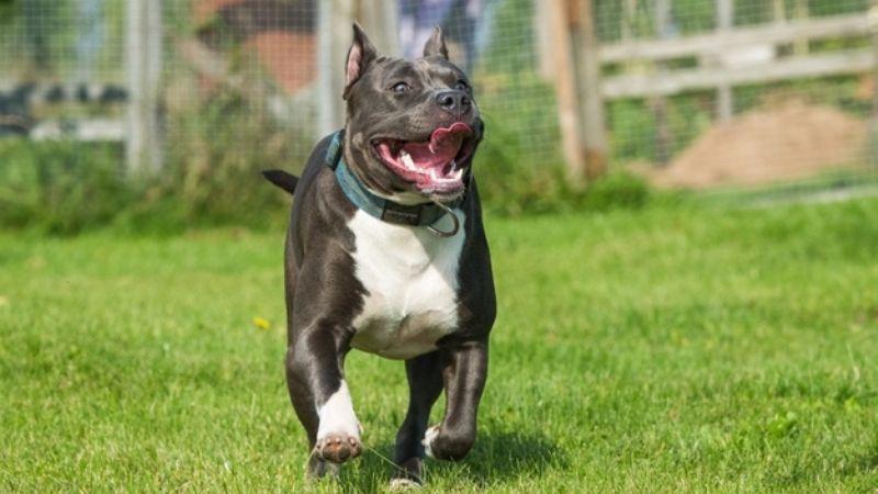 ¿Adoptaste un pitbull? Estos poderosos nombres para perros serán perfectos para él