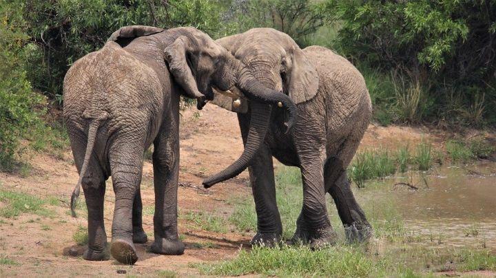 Elefantas que radican en un zoológico reciben pedicura y el VIDEO se hace viral