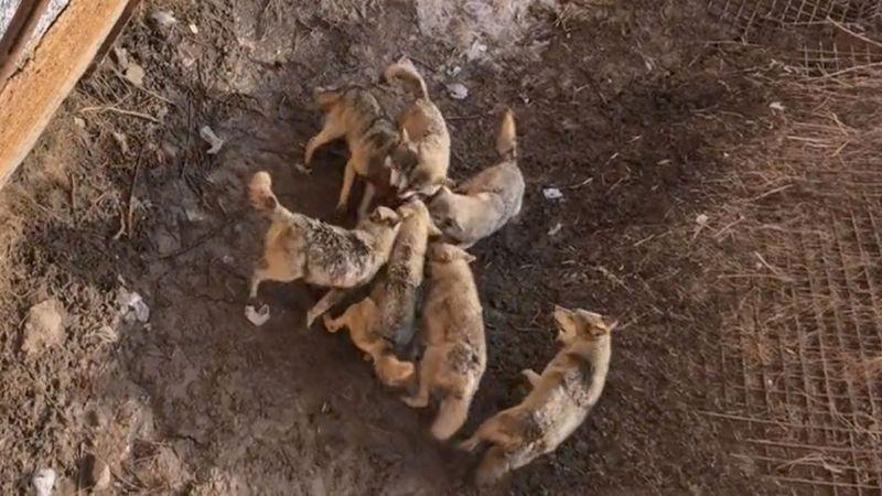 Manada de lobos devora a un perrito que cayó a su jaula en un zoológico de China