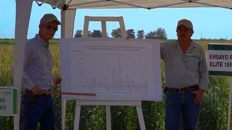 Mejoramiento genético del trigo, indispensable para el campo