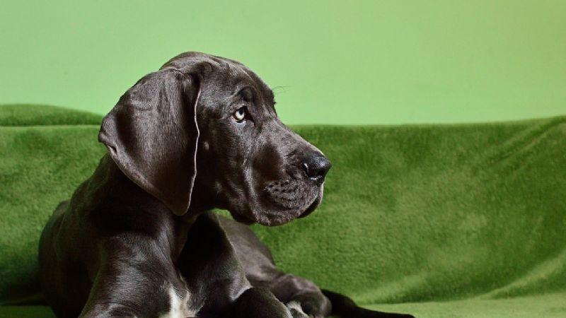 ¿Adoptarás a un gran danés? Estos son los nombres ideales para esta raza de perros