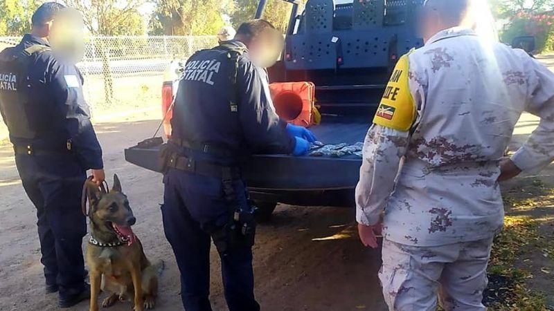 Binomios caninos localizan 54 envoltorios de marihuana abandonados en predio de Cajeme