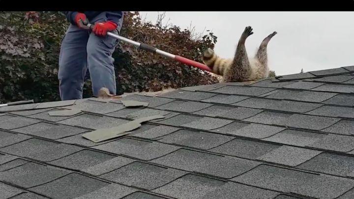 ¡Le urge una dieta! Mapache se queda atorado en el techo; pretendía robar comida
