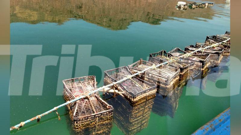 Guaymas: Contaminación en Bahía provoca pérdidas millonarias en cultivo de ostión