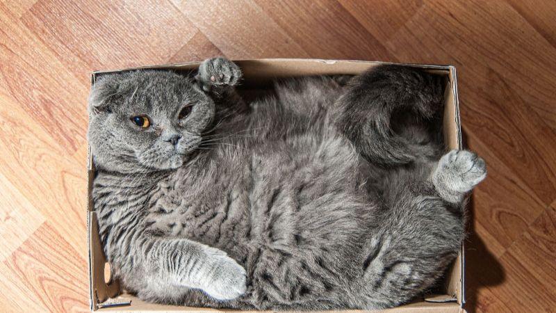 ¿Por qué los gatos aman los lugares estrechos? La respuesta te dejará impactado