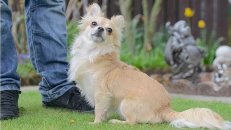 ¡Insólito! Perro chihuahua podría ser condenado a pena de muerte; juicio continúa