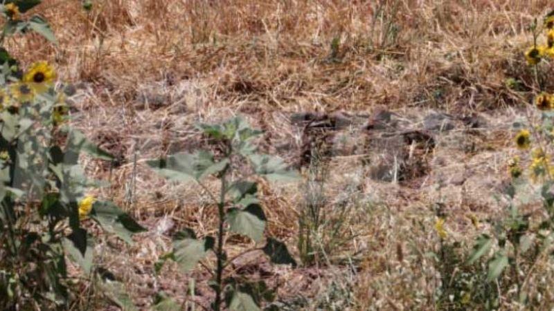 Cajeme: Guerreras Buscadoras encuentran restos humanos entre girasoles