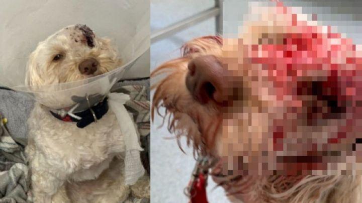 ¡Sobrevive de milagro! El perrito 'Waffle' pierde un ojo tras recibir un disparo en la cara