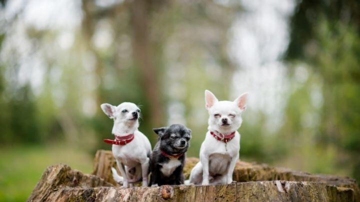 Así es la forma en la que debes cuidar a tu perro chihuahua para que sea feliz