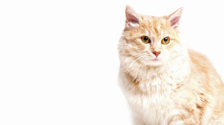 ¿Vacunarás a tu gato? Estos son los posibles efectos secundarios que puede padecer