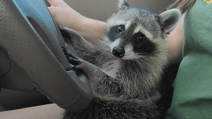 ¿Maltrato? Difunden en redes FOTO de un mapache que acompaña a jóvenes en una fiesta