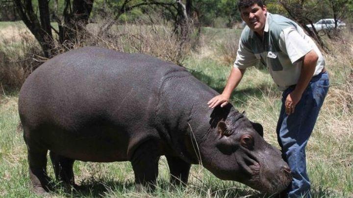 """""""Es como mi hijo"""": Marius es devorado por su mascota, un hipopótamo de más de 1 tonelada"""