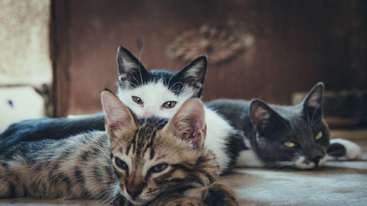 ¡Atroz! Asesino de 'gatitos' mató a más de mil; los envenenó con raticida